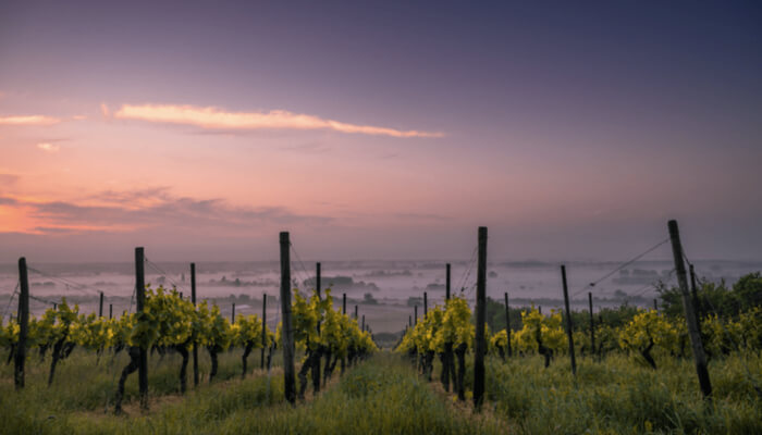 Foggy Purple Vineyard View