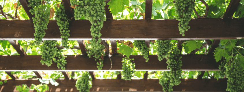 Hanging Green Grapes